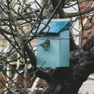 A little Blue Tit exploring the new bird box in a nearby tree