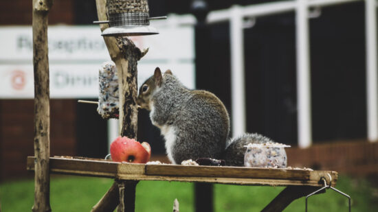A grey Squirrel munching on a fat ball and some apple!