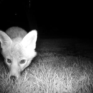 A young fox caught on Night Cam