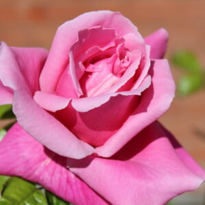 A pink colourful garden rose, with curling petals
